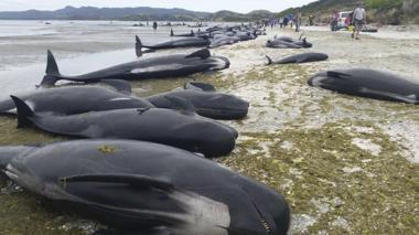 Imagen facilitada por el Departamento de Conservación de Nueva Zelanda que muestra docenas de ballenas varadas en una playa de Farewell Spit en la Bahía Dorada de Nueva Zelanda.