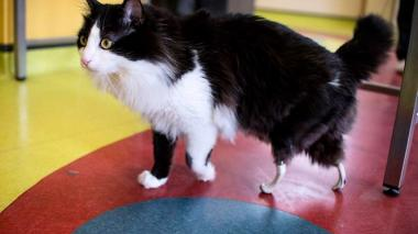Implantan patas traseras artificiales a gato en Bulgaria