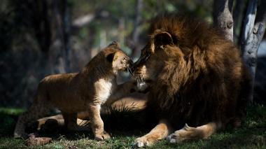 """""""Maucho"""" juguetea con una de sus crías."""