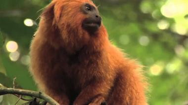 Mono tití leoncito.