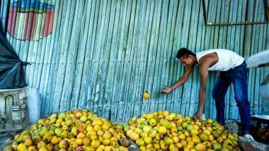 Un pendalero arroja un mango al montículo de frutas recogidas de la cosecha.