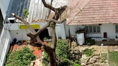 Las ramas del árbol evidencian la poda de la especie.