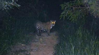 Jaguar preocupa a campesinos de la Sierra Nevada