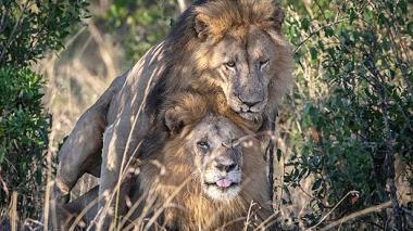 Acusan al turismo gay por el encuentro sexual entre dos leones machos en Kenia