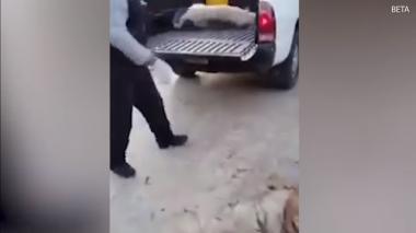 Un empleado municipal pone a un perro en una camioneta para transportarlo.