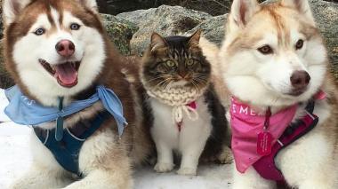 """Huskies siberianos """"adoptaron"""" a una gata que ahora se cree un perro"""