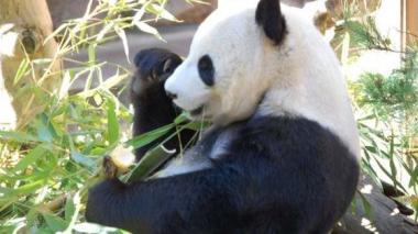 En China crearán parque nacional de 2,7 millones de hectáreas para pandas
