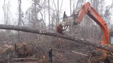En video | La lucha de un orangután ante una excavadora para frenar tala de árboles
