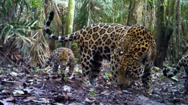 Minambiente y Cerrejón estudian corredor biológico del jaguar