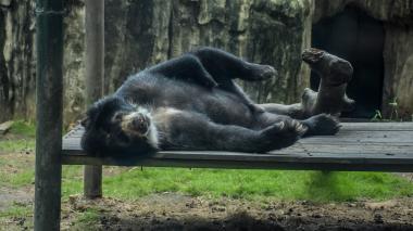 La lucha por los votos entre el oso de anteojos y la anaconda