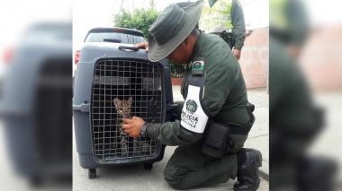 Campesinos en la vereda de Paiba entregan voluntariamente un tigrillo a la Policía