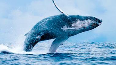 Las ballenas corren el riesgo de desaparecer.