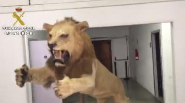 En video | A juicio española que intentó vender en internet un león disecado