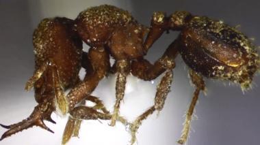 'Protalaridris Arhuaca', la hormiga caribeña