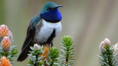 Ecuador deslumbra con atípico hallazgo de nueva especie de colibrí