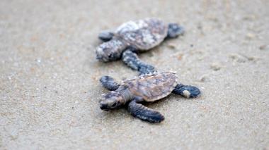 Nacen más de 300 tortugas en peligro de extinción en Singapur