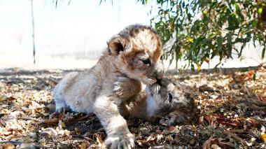 Nacen los primeros leones concebidos por inseminación artificial en el mundo