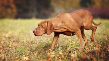 Investigadores aseguran que los perros pueden entrenarse para detectar la malaria