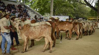Ejemplares bovinos, como estos de la raza Gyr, de distintas regiones, estarán en el evento.