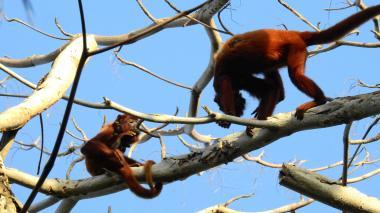 Observación de campo  para ver nivel de monos enfermos en el Magdalena
