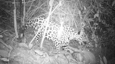 En video | Cámaras-trampas captan a jaguar en La Guajira