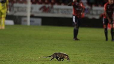 La zarigüeya en plena cancha durante el partido entre Veracruz y Puebla en el fútbol mexicano.