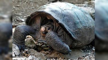 Liberan 155 tortugas gigantes en la isla Santa Fe de Galápagos
