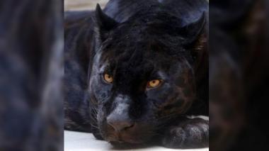 Mujer es atacada por Jaguar tras saltar la valla de seguridad para tomarse una selfie