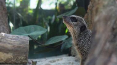 Suricata en el Zoológico.