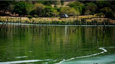 Muerte de reses en el guájaro fue por algas Tóxicas