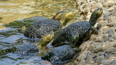 Venta de hicoteas, entre la tradición y la prohibición ambiental