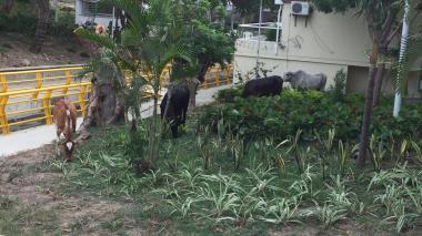 Vacas dañan matas de parque y frenan tráfico en el norte