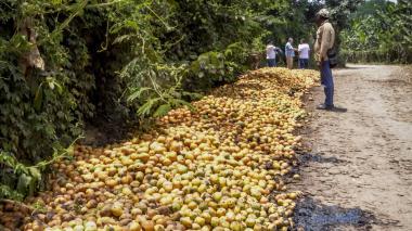 Crisis del mango en Ciénaga: desempleo e inseguridad
