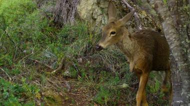 Hallan en la Patagonia chilena un huemul, mítico ciervo en peligro de extinción