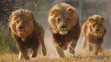 Catorce leones escaparon de un parque en Sudáfrica