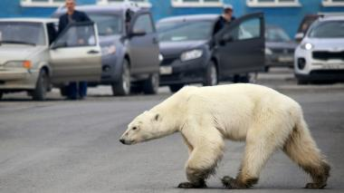 Capturan a osa polar hambrienta que se alejó de su hábitat