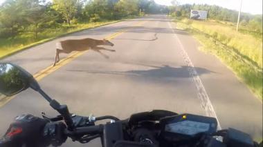 En video| Motociclista choca violentamente con un ciervo