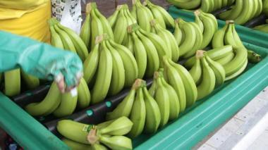 Alerta por plaga del banano en países centroamericanos y México