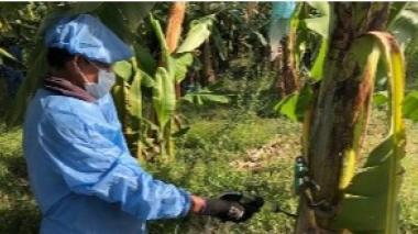 Vigilancia en 13 fincas bananeras de La Guajira