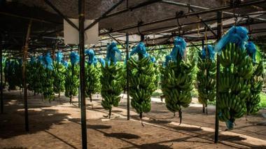 Declaran emergencia nacional por brote letal para el banano