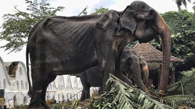 Tikiri es una elefante de 70 años de edad.