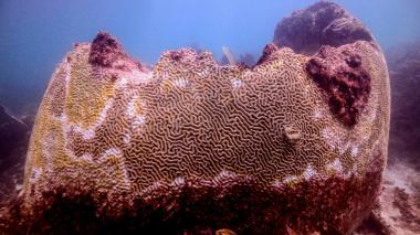En video | Una rara enfermedad amenaza los corales del Caribe