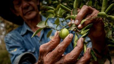 Debate sobre crisis de los cultivos de cítricos en el Caribe