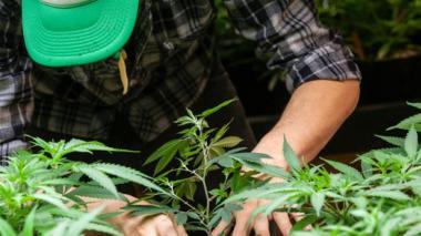Cultivo de marihuana. Imagen de referencia.