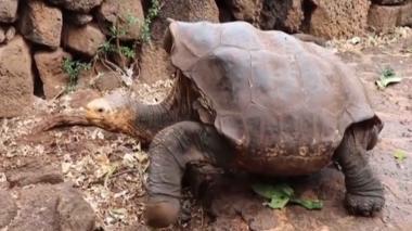 En video   Diego, la tortuga de Galápagos que salvó a su especie, será liberada