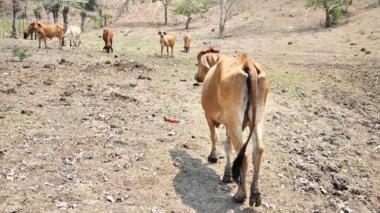 El fuerte verano afecta la producción de leche en el Cesar.