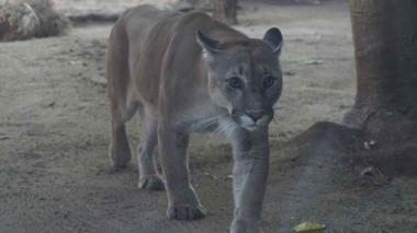 Puma concolor.