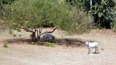 La sequía ha afectado la ganadería en Cesar.