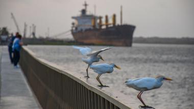 Aves se posan sobre el mirador del Gran Malecón del Río, uno de los sitios que integra el sector urbano y el área ambiental.