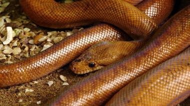 La boa chocolate es una de las 13 especies de serpiente que habita el zoológico.